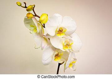 Phalaenopsis (moth orchid)