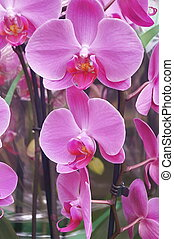 phalaenopsis, orchidée
