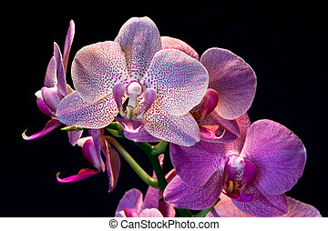 Phalaenopsis. Orchid isolated on black background