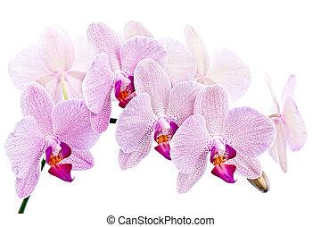 Phalaenopsis. Orchid isolated on white background