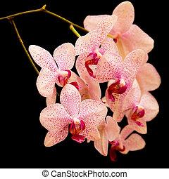 phalaenopsis orchid on black