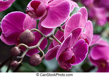 Phalaenopsis Orchid photographed in Frankfurt, Hessen,...