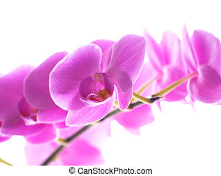 Phalaenopsis orchid, with yellow tongue, isolated towards white