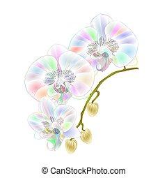 phalaenopsis, orchidee, multi gefärbt, stamm