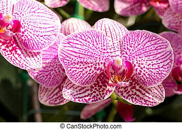phalaenopsis, orquídea, flor