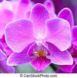 phalaenopsis, -, orquídea, púrpura, hermoso