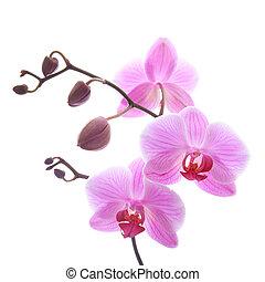 phalaenopsis, - phalaenopsis orchid branch isolated on white