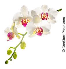 phalaenopsis, plano de fondo, aislado, rojo blanco