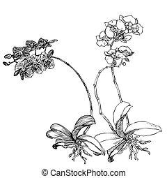 phalaenopsis, stich, orchidee