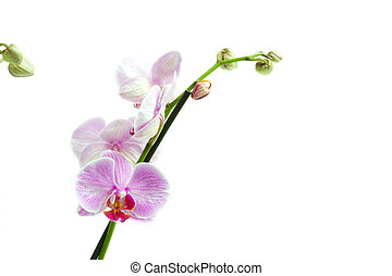 Phalaenopsis - The image shows an orchis over white ...