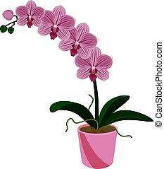phalaenopsis, tropische , exotische , topf, blume, orchidee...