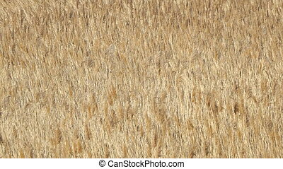 Beautiful dry marsh grass swinging in the wind