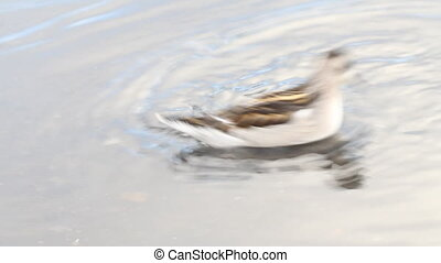 phalarope - special way of feeding