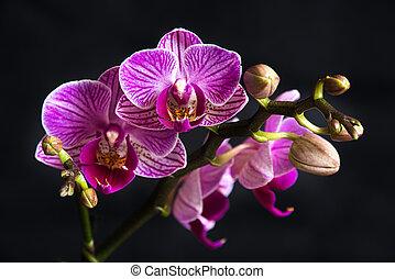phaleanopsis, kwiat, ciemna purpura, tło