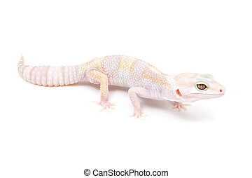 Eclipse leopard gecko isolated on a white background