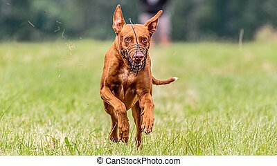 Pharaoh Hound dog running in the field on competition