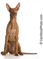 pharaoh hound portrait looking up on white background