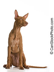 pharaoh hound portrait looking up on white background