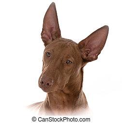 pharoah, 肖像画, マレ, 猟犬