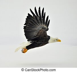 Phase of flight of an Bald Eagle in flight over snow covered...