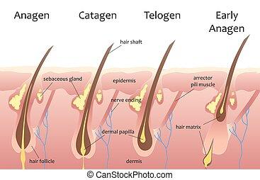 phases., catagen, umano, crescita, capelli, biologico, ...