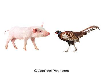 pheasant and pig