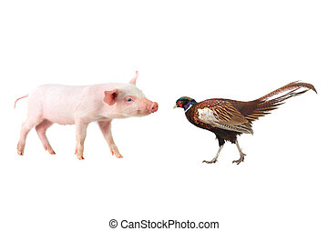 pheasant and pig on a white background. studio