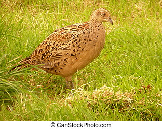 Close up of mottled brown female common pheasant (Phasianus colchicus) in grass