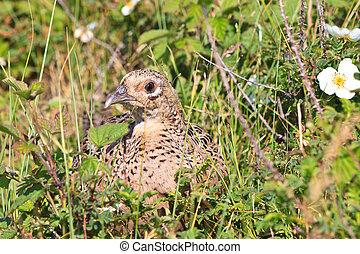 Pheasant female bird in close up
