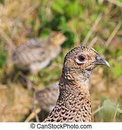 Pheasant female bird with juvenile hiding in the bushes
