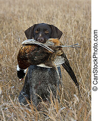 Pheasant Hunting - A hunting dog with a Pheasant