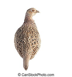 Pheasant isolated on white