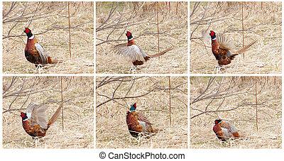 Pheasant mating dance collage.
