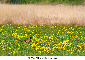 Pheasant on a green field