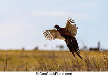 Pheasant (Phasianus colchicus) in flight closeup