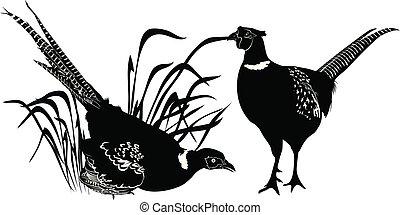 pheasant. pheasant isolated on white background. Bird pheasant