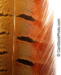 Close-up of pheasant tail feather