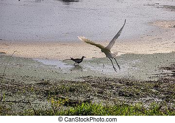 Pheasant-tailed Jacana, Waterpheasant (Hydrophasianus chirurgus) on edge of the swamp. The egret took off. Sri Lanka