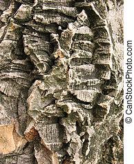 phellodendron, amur, corcho, árbol, corteza, lat., amurense