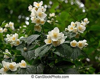 Philadelphus coronarius - Photo of the Jasmine Flower...