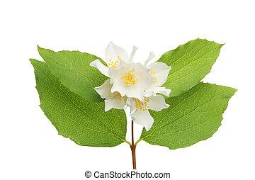 Philadelphus flowers and leaves - Philadelphus flower and...