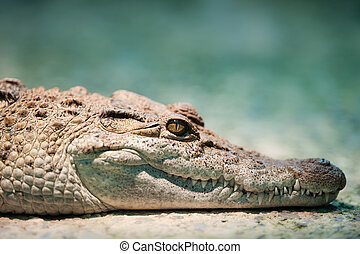 Philippine crocodile (lat. Crocodylus mindorensis), focus is...