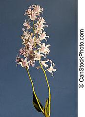 philippine, orchidea