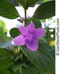 philippine, viola