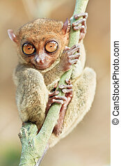 phillipine, tarsier