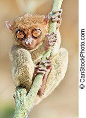 Phillipine tarsier - Funny Philippine tarsier (Tarsius...