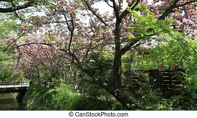 Philosopher's Walk cherry blossom - Scenic landscape of pink...
