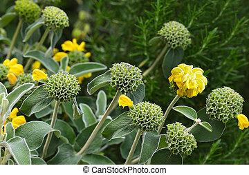 Phlomis Edward Bowles Flower - Phlomis Edward Bowles shrub...