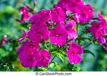 "Phlox - genus of flowering herbaceous plants of the family Sinyuhovye (Polemoniaceae). Translated from the Greek for ""flame""."
