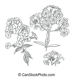 Phlox. Contour drawing. White background, black outline of garden flowers